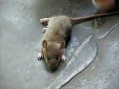Мышь притворилась мертвой
