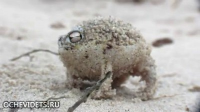 Лягушка - пищушка)))
