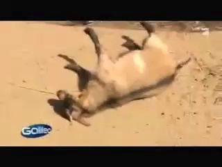 Козы притворяются мертвыми, когда их пугают!