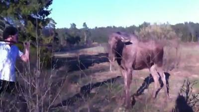 Агрессивный шведский лось