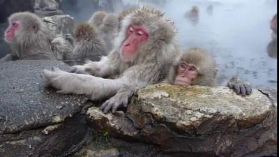 Японские макаки отдыхают