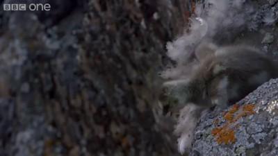 Первый полет птенца со скалы
