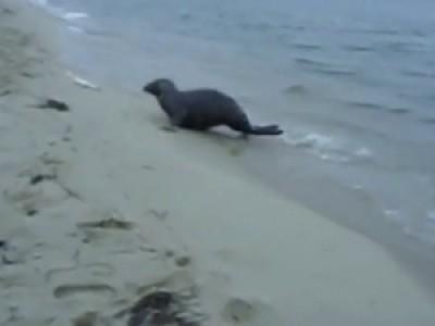Тюлень - воришка