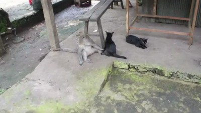 Любовь между обезьяной и кошкой!