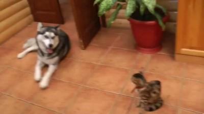 Хаски знакомится с кошечкой