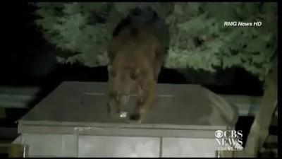 Рейнджер освобождает медвежонка из мусорного плена .