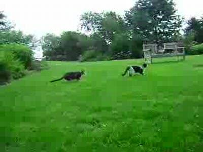 кот нападает из тыла