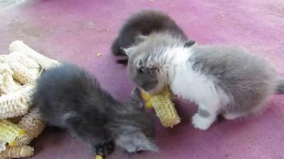 Котята и кукуруза