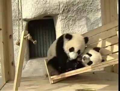 Панды катаются на горке / Cute pandas playing on the slide