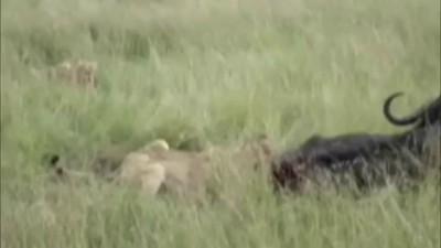 ЖЕСТЬ. Львы едят живого буйвола