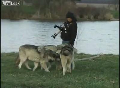 Бесстрашный фотограф и волки