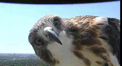 Онлайн-камера сняла прилетевшего сокола