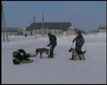 Обучение собак атаковать в намордниках.