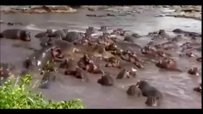 Крокодил и Бегемоты