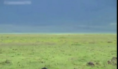 Hyenas Hunting Wildebeest - Pregnant Wildebeest Attacked by Hyenas