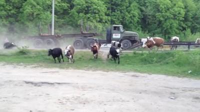 Урал VS коровы