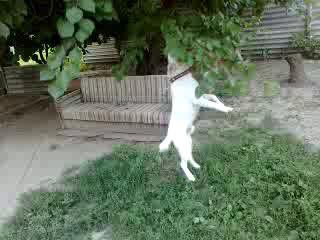 Собакен-живчик