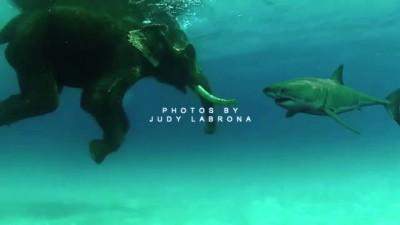 Слон влюбился в белую акулу