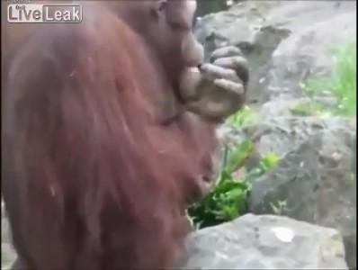 Орангутанг спасает птенца