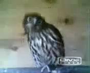 Танцующие совы