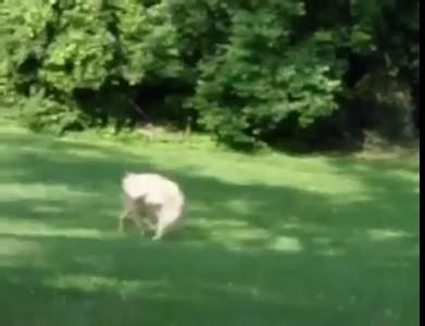 Собака играет с оленёнком .
