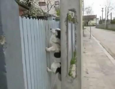 Собака - скалолаз