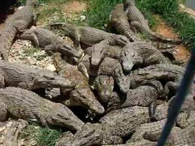 Крокодилы на кубинской ферме.