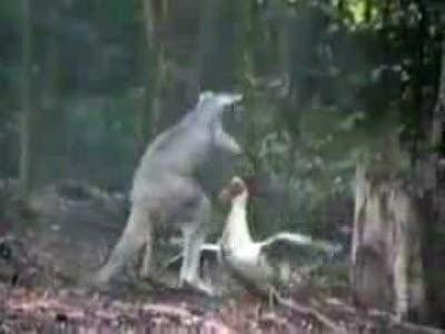 Кенгуру против гуся