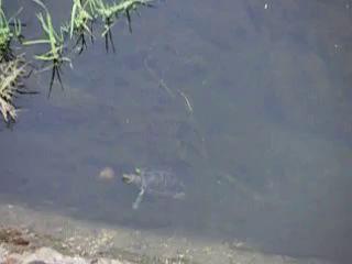 Черепаха охотится