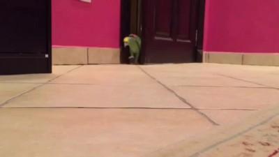 попугай ржет