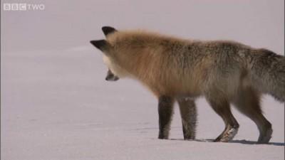 Fox Snow Dive - Yellowstone - BBC Two