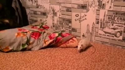 Жуткое нападение крысы