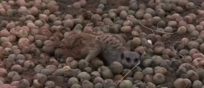 Animals in Africa get drunk by eating ripe Marula fruit
