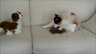 Timo the Ragdoll Cat and his plush puppy