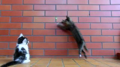 Котята и лазерная указка