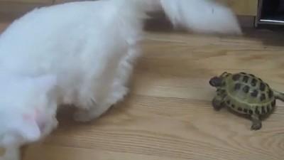 Быдло черепаха