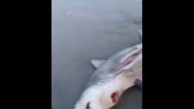 Мёртвой акуле сделали кесарево сечение выпустив детёныша