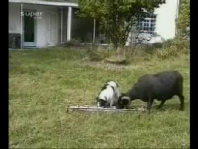 Баран vs Собака