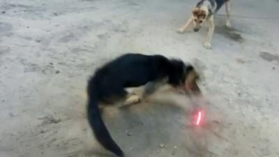 собака против лазерной указки ч1