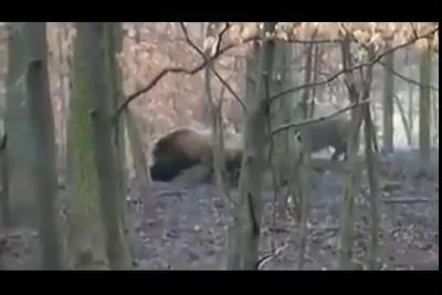 Pitbull vs wild boar. hunting
