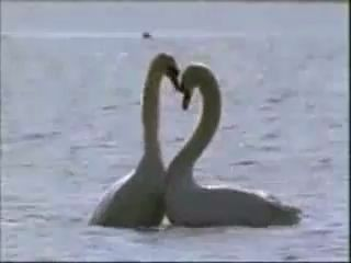 Лебединая любовь. Нереально красивое видео!!!!!!.wmv