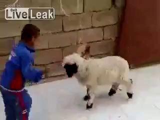 маленькая овечка бодает ребенка