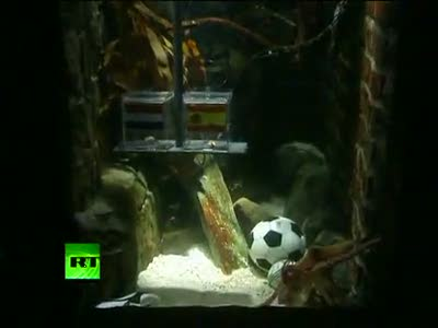 Final bet Oracle Paul the Octopus picks Spain over Netherlands to win World Cup.mp4