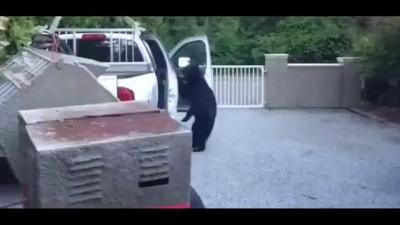 Наглый медведь - барибал ловко шмонает автомобиль .