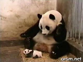 Панда чихнула(обратите внимание чихнул малой)