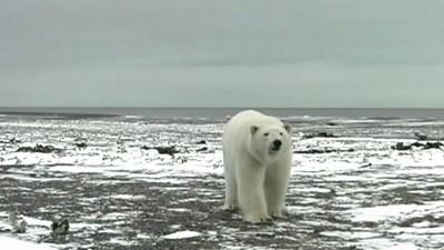 белые медведи чуть не съели ведущего Моей планеты