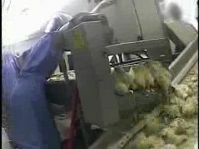 правда о фабриках быстрого питания.