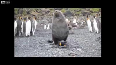 SEAL AND PENGUIN HAVING SEX?! (Arctocephalus gazella)