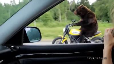 Медведь рулит