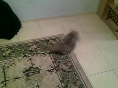 Cat vs. gun laser